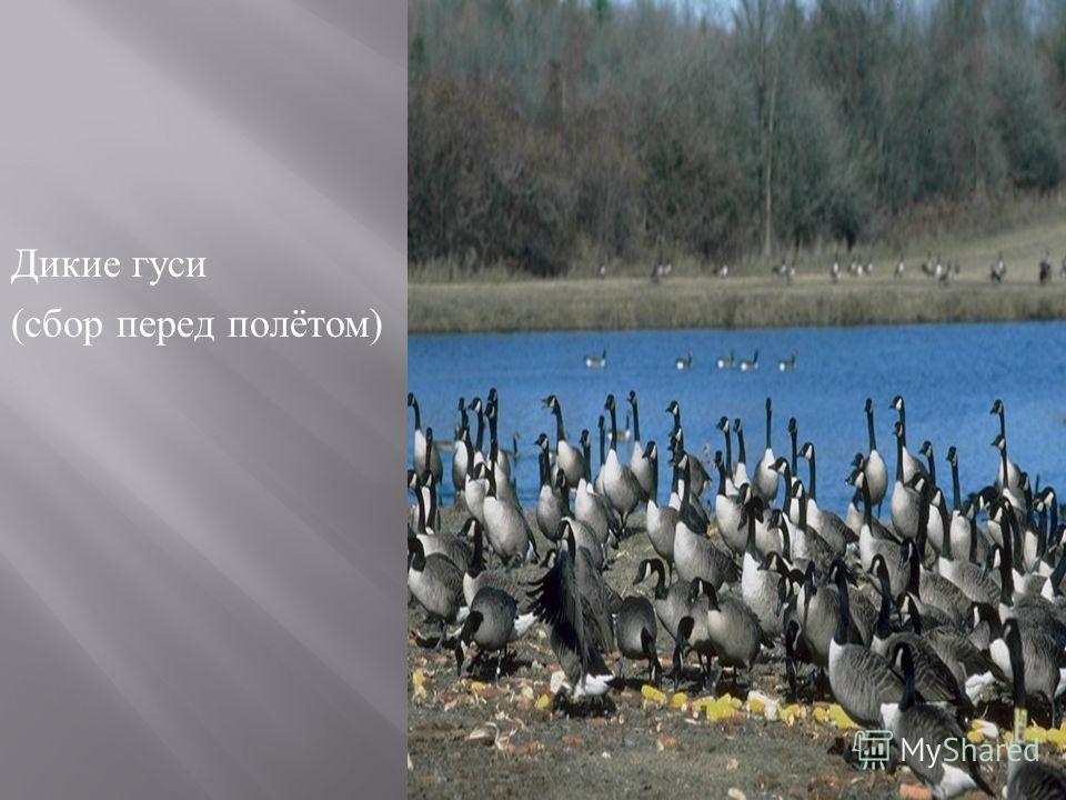Дикие гуси ( сбор перед полётом )