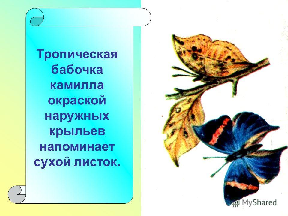 Тропическая бабочка камилла окраской наружных крыльев напоминает сухой листок.