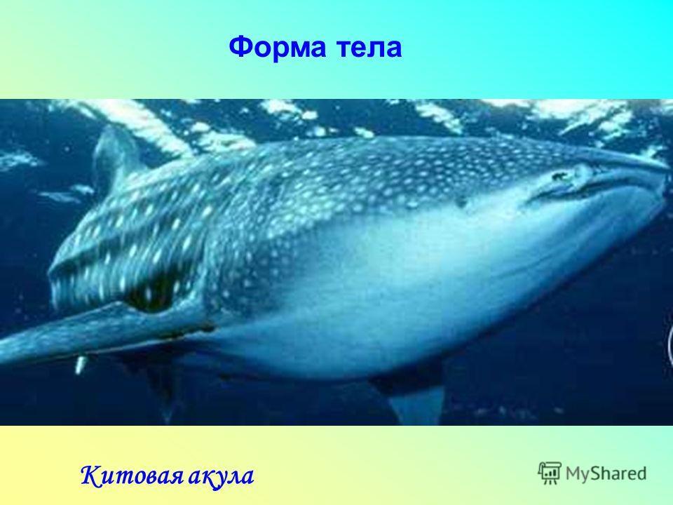 Форма тела Китовая акула