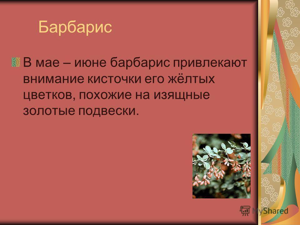 Барбарис В мае – июне барбарис привлекают внимание кисточки его жёлтых цветков, похожие на изящные золотые подвески.