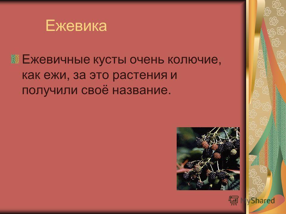 Ежевика Ежевичные кусты очень колючие, как ежи, за это растения и получили своё название.