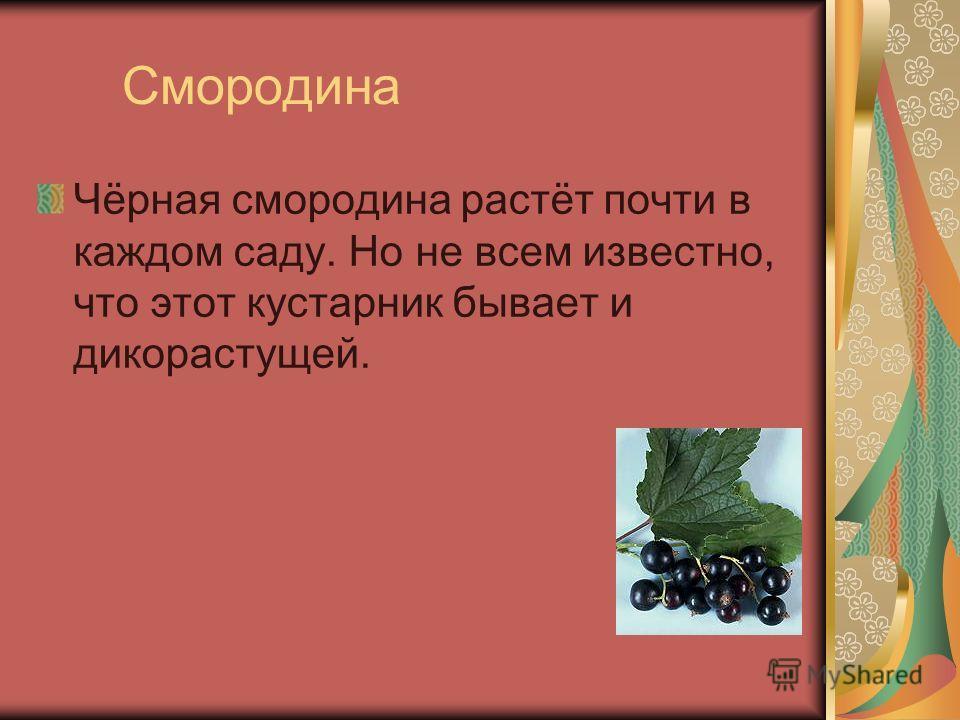 Смородина Чёрная смородина растёт почти в каждом саду. Но не всем известно, что этот кустарник бывает и дикорастущей.