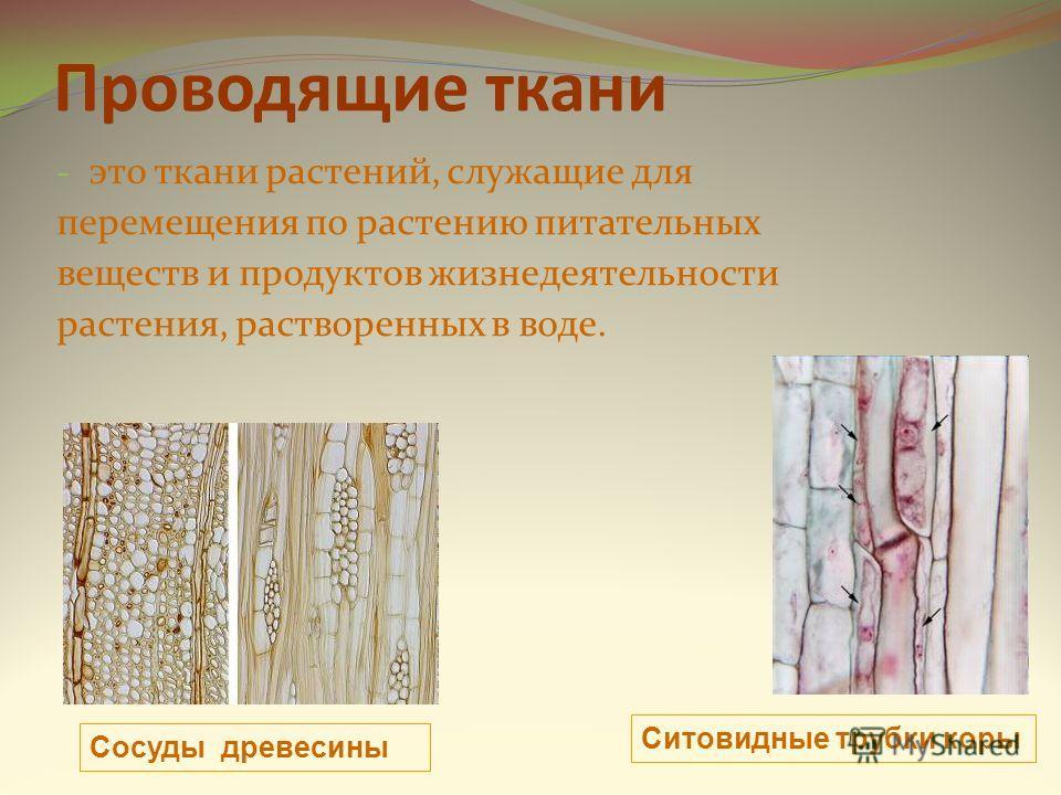 Проводящие ткани - это ткани растений, служащие для перемещения по растению питательных веществ и продуктов жизнедеятельности растения, растворенных в воде. Сосуды древесины Ситовидные трубки коры