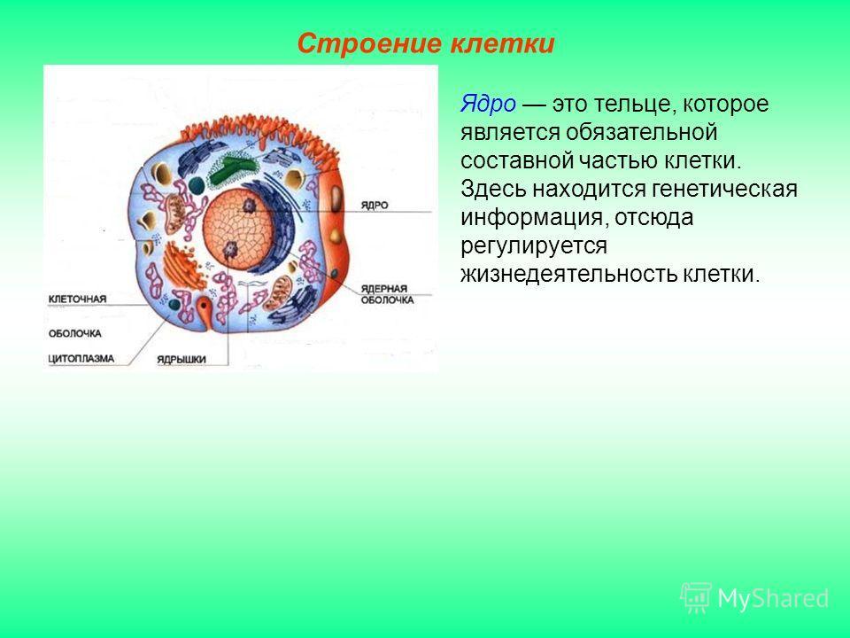 Строение клетки Ядро это тельце, которое является обязательной составной частью клетки. Здесь находится генетическая информация, отсюда регулируется жизнедеятельность клетки.