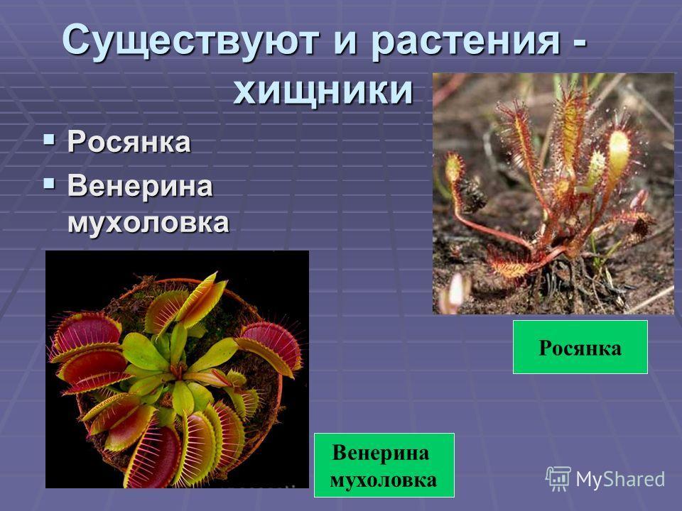 Существуют и растения - хищники Росянка Росянка Венерина мухоловка Венерина мухоловка Венерина мухоловка Росянка
