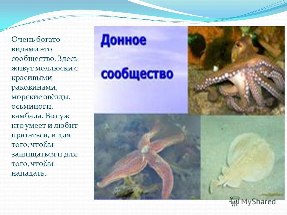 Очень богато видами это сообщество. Здесь живут моллюски с красивыми раковинами, морские звёзды, осьминоги, камбала. Вот уж кто умеет и любит прятаться, и для того, чтобы защищаться и для того, чтобы нападать.
