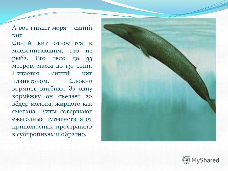 А вот гигант моря – синий кит Синий кит относится к млекопитающим, это не рыба. Его тело до 33 метров, масса до 130 тонн. Питается синий кит планктоном. Сложно кормить китёнка. За одну кормёжку он съедает 20 вёдер молока, жирного как сметана. Киты со
