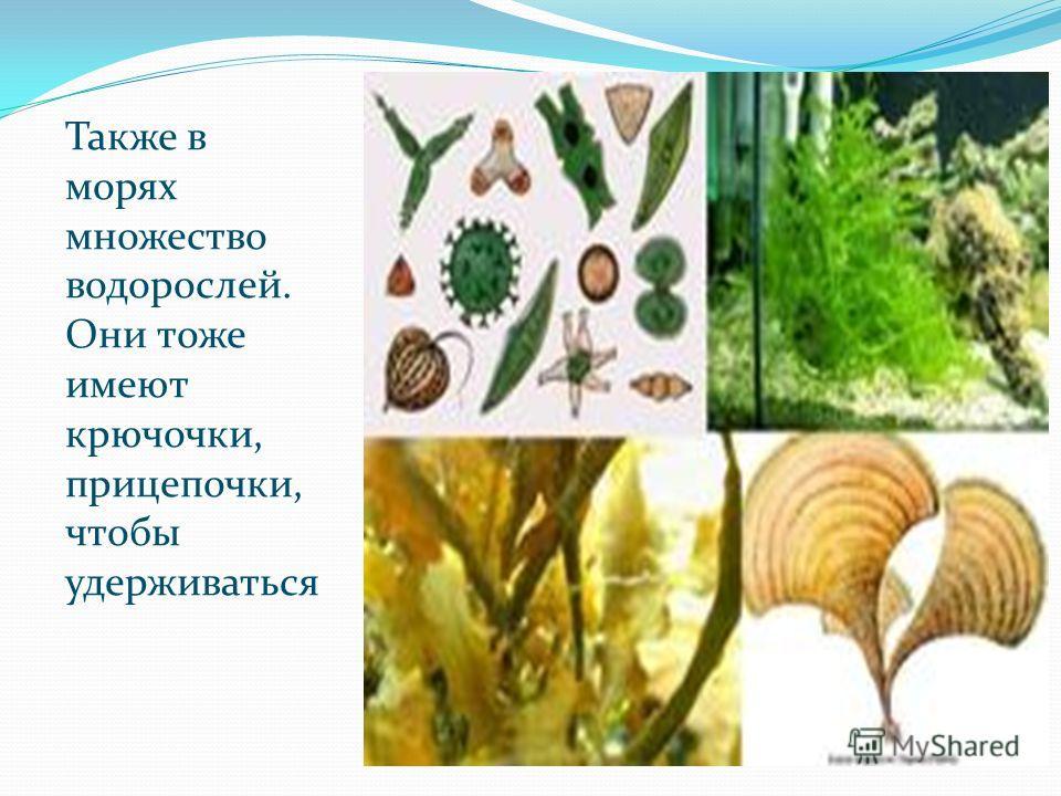 Также в морях множество водорослей. Они тоже имеют крючочки, прицепочки, чтобы удерживаться