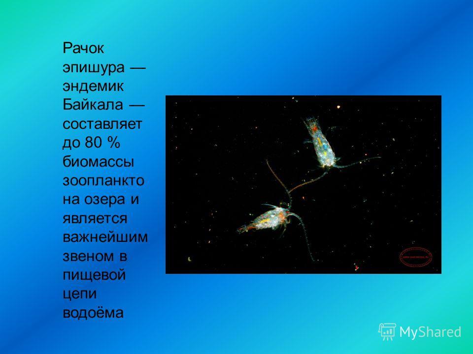 Рачок эпишура эндемик Байкала составляет до 80 % биомассы зоопланкто на озера и является важнейшим звеном в пищевой цепи водоёма