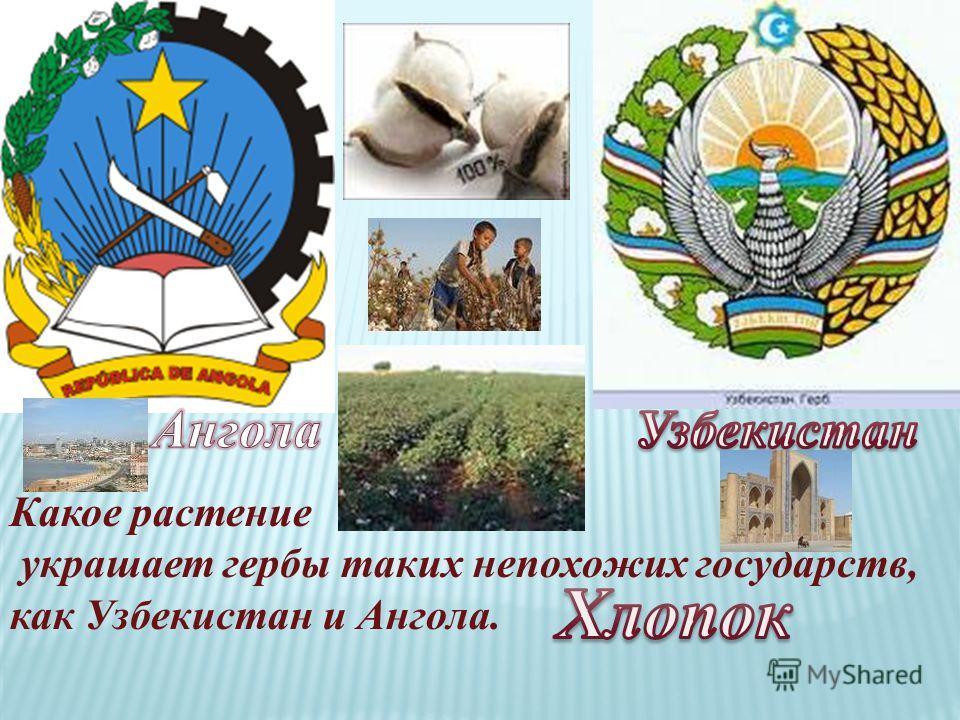 Какое растение украшает гербы таких непохожих государств, как Узбекистан и Ангола.