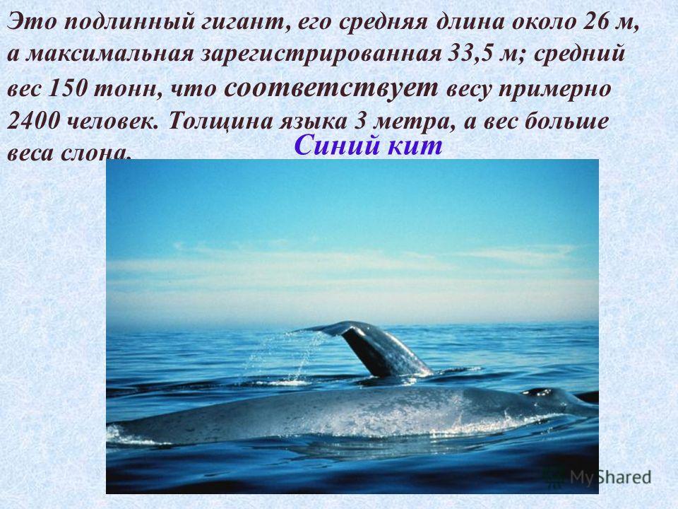 Это подлинный гигант, его средняя длина около 26 м, а максимальная зарегистрированная 33,5 м; средний вес 150 тонн, что соответствует весу примерно 2400 человек. Толщина языка 3 метра, а вес больше веса слона. Синий кит