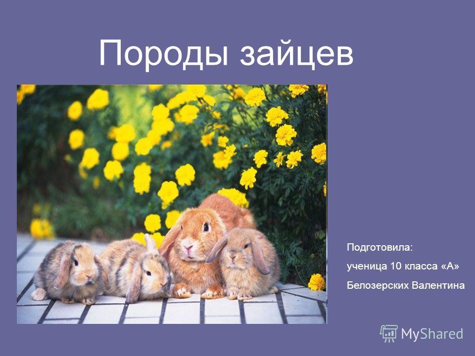 Породы зайцев Подготовила: ученица 10 класса «А» Белозерских Валентина