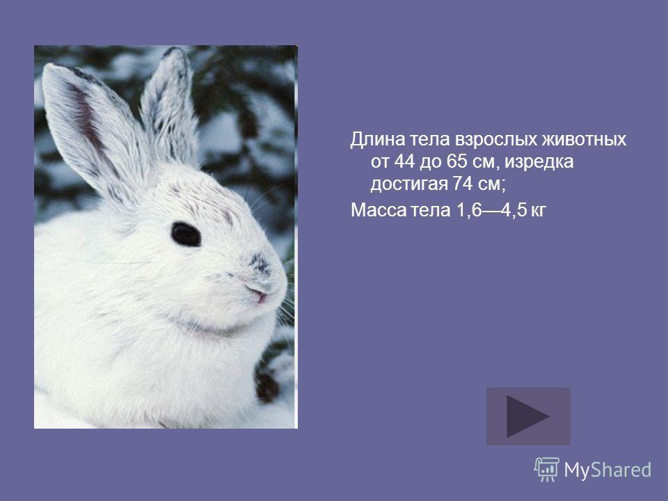 Длина тела взрослых животных от 44 до 65 см, изредка достигая 74 см; Масса тела 1,64,5 кг