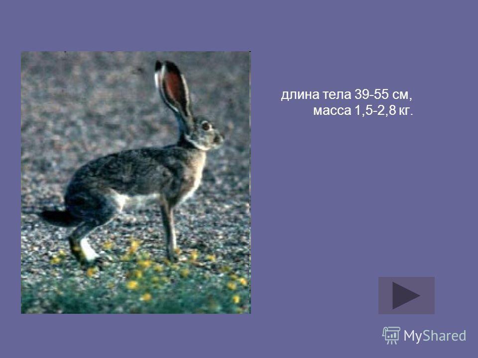 длина тела 39-55 см, масса 1,5-2,8 кг.