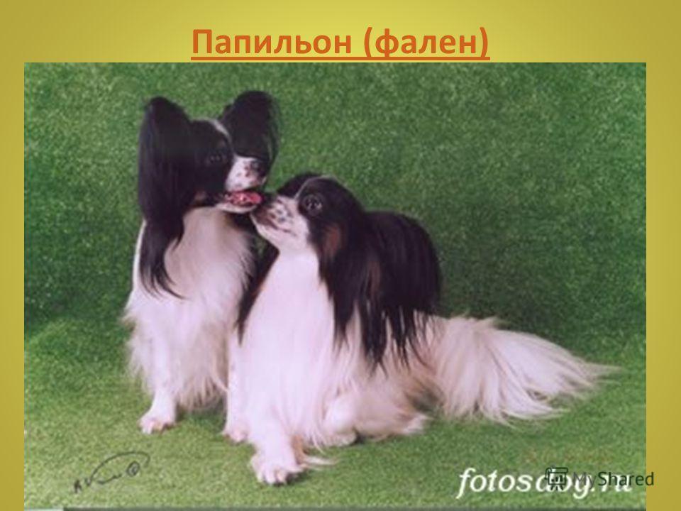 Японский хин Японский хин идеален для проживания в квартире, так как он отличается тихим и спокойным нравом, к тому же собака не требует много места.
