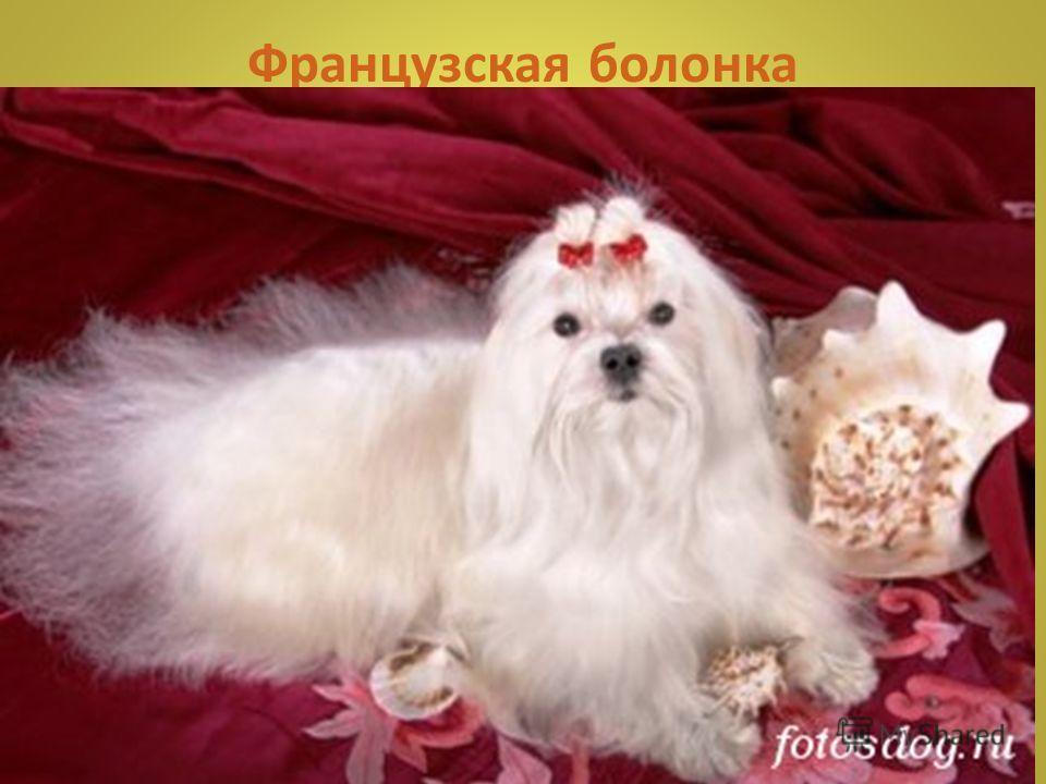 Ши Тсу Собаки из породы ши-тсу, несмотря на свой крайне красивый, игрушечный и декоративный вид не являются декоративными собаками. Ши-тсу собака-компаньон с необычным характером. У ши- тсу дома чаще не бывает ярко выраженного хозяина, они разделяют