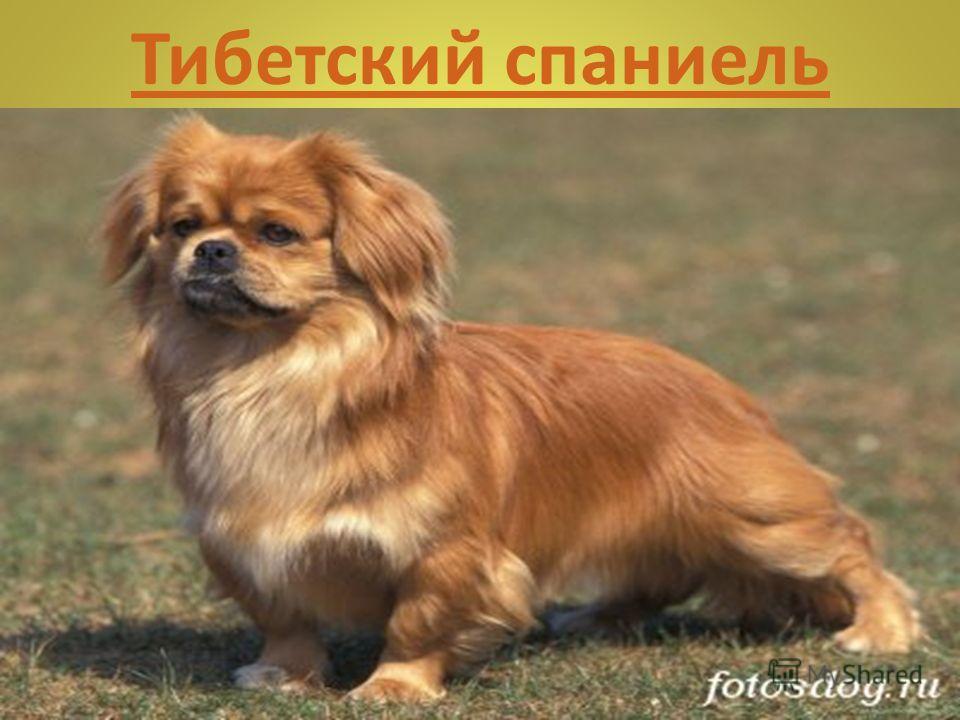 Той-пудель Всегда энергичная, смышленая собака с легкими, изящными движениями. Прекрасный спутник благодаря своему веселому нраву и удивительной сообразительности. Необычайно подвижная и игривая собака, особенно в первые годы жизни. Очень привязчивая