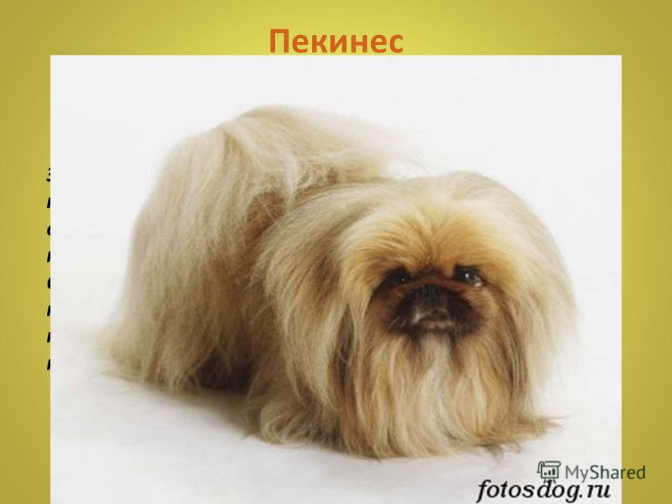 Померанец (померанский шпиц) обладает хорошим здоровьем, уравновешенным характером, удобен в содержании, он привязан к хозяину, обладает прекрасным умом и легко поддается дрессировке. Это очень умные собаки, ласковые и старательные.