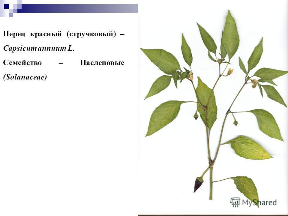 22 Перец красный (стручковый) – Capsicum annuum L. Семейство – Пасленовые (Solanaceae)