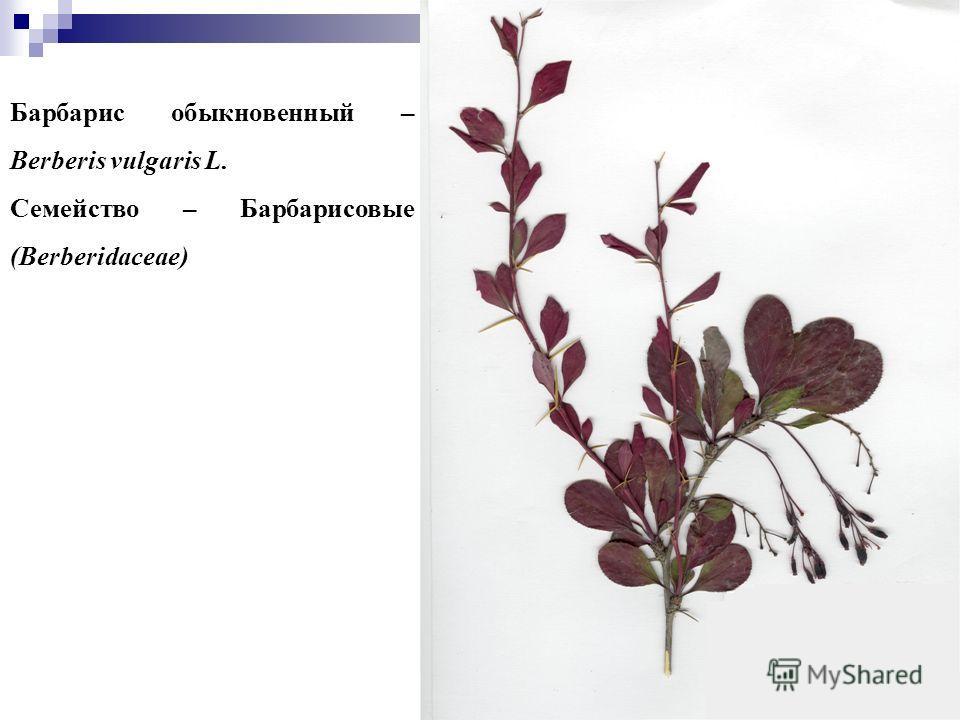 77 Барбарис обыкновенный – Berberis vulgaris L. Семейство – Барбарисовые (Berberidaceae)