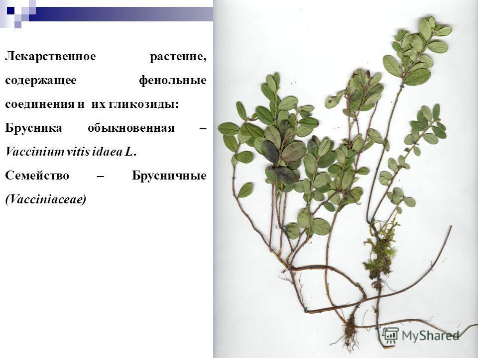 22 Лекарственное растение, содержащее фенольные соединения и их гликозиды: Брусника обыкновенная – Vaccinium vitis idaea L. Семейство – Брусничные (Vacciniaceae)