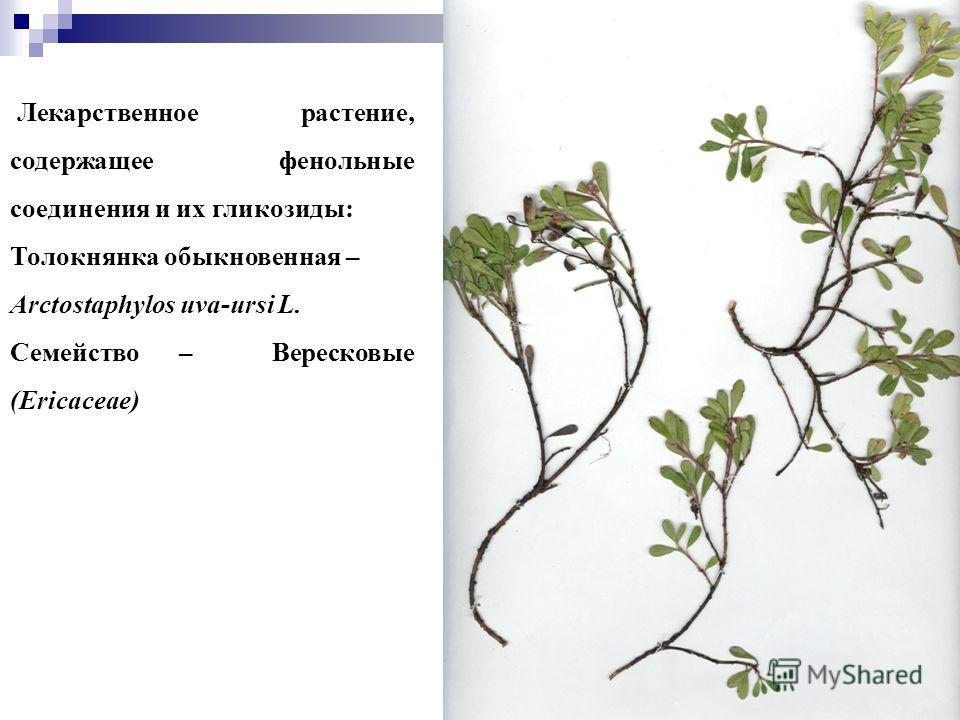 33 Лекарственное растение, содержащее фенольные соединения и их гликозиды: Толокнянка обыкновенная – Arctostaphylos uva-ursi L. Семейство – Вересковые (Ericaceae)