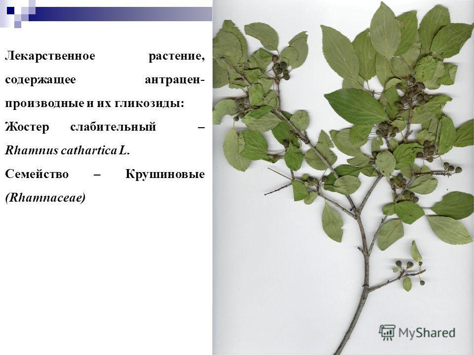 44 Лекарственное растение, содержащее антрацен- производные и их гликозиды: Жостер слабительный – Rhamnus cathartica L. Семейство – Крушиновые (Rhamnaceae)
