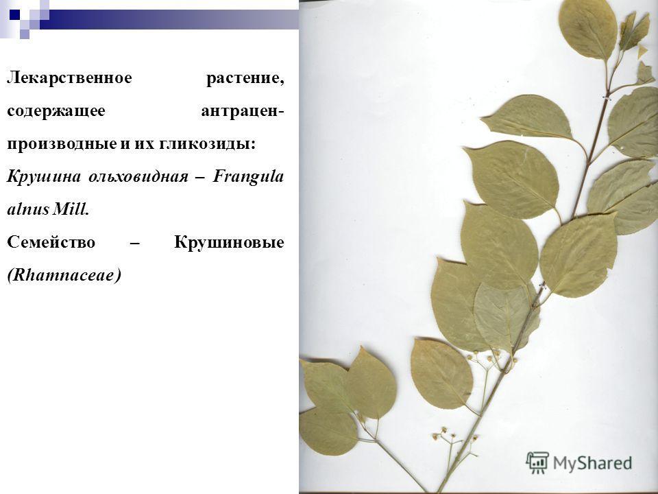 55 Лекарственное растение, содержащее антрацен- производные и их гликозиды: Крушина ольховидная – Frangula alnus Mill. Семейство – Крушиновые (Rhamnaceae )