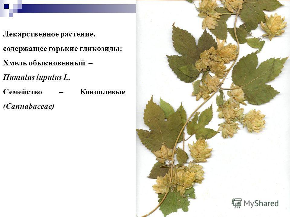 22 Лекарственное растение, содержащее горькие гликозиды: Хмель обыкновенный – Humulus lupulus L. Семейство – Коноплевые (Cannabaceae)