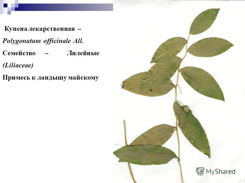 77 Купена лекарственная – Polygonatum officinale All. Семейство – Лилейные (Liliaceae) Примесь к ландышу майскому