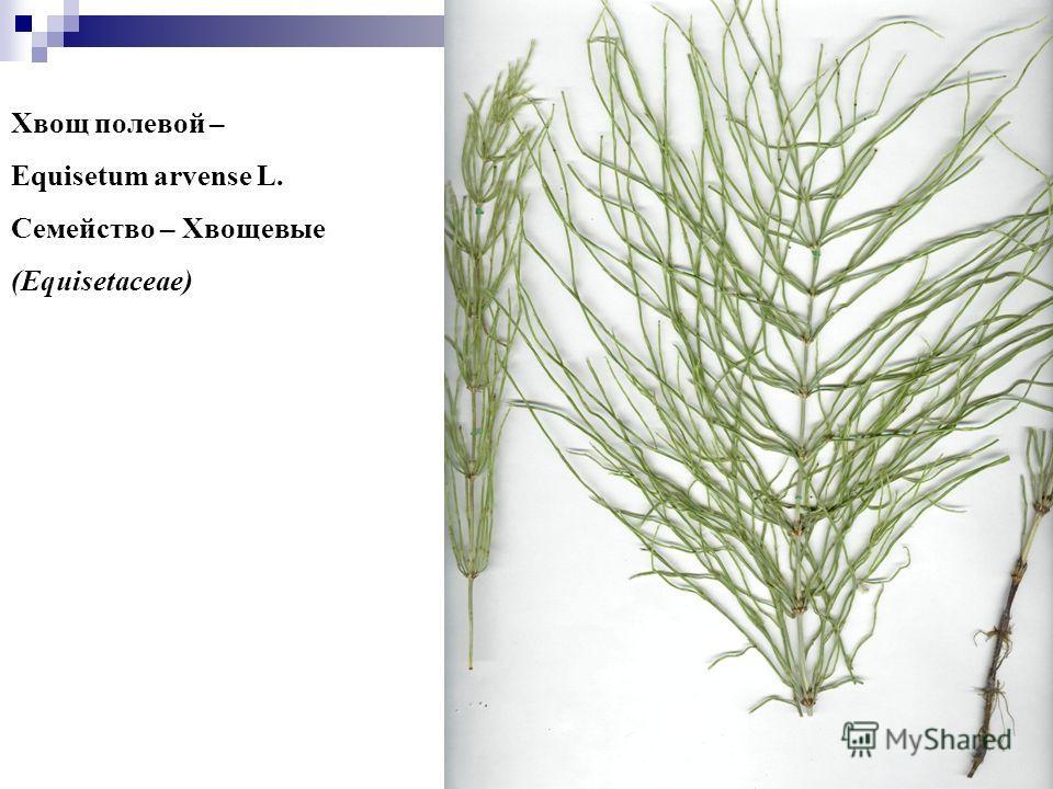 22 Хвощ полевой – Equisetum arvense L. Семейство – Хвощевые (Equisetaceae)