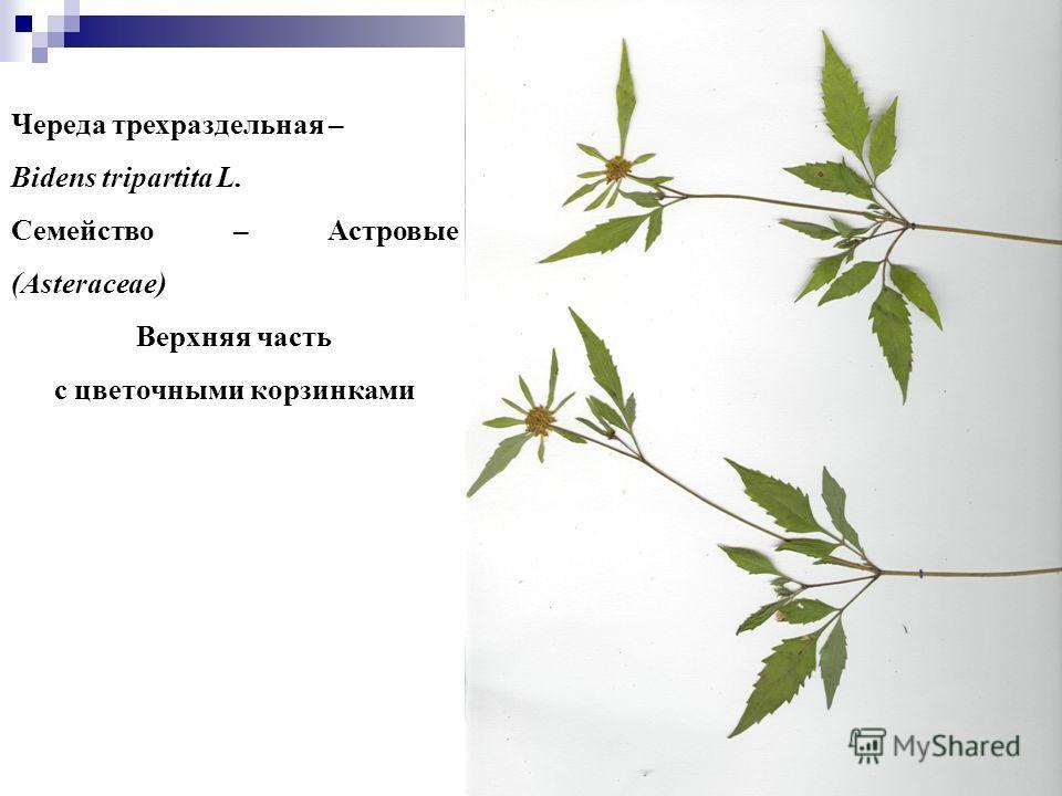 55 Череда трехраздельная – Bidens tripartita L. Семейство – Астровые (Asteraceae) Верхняя часть с цветочными корзинками