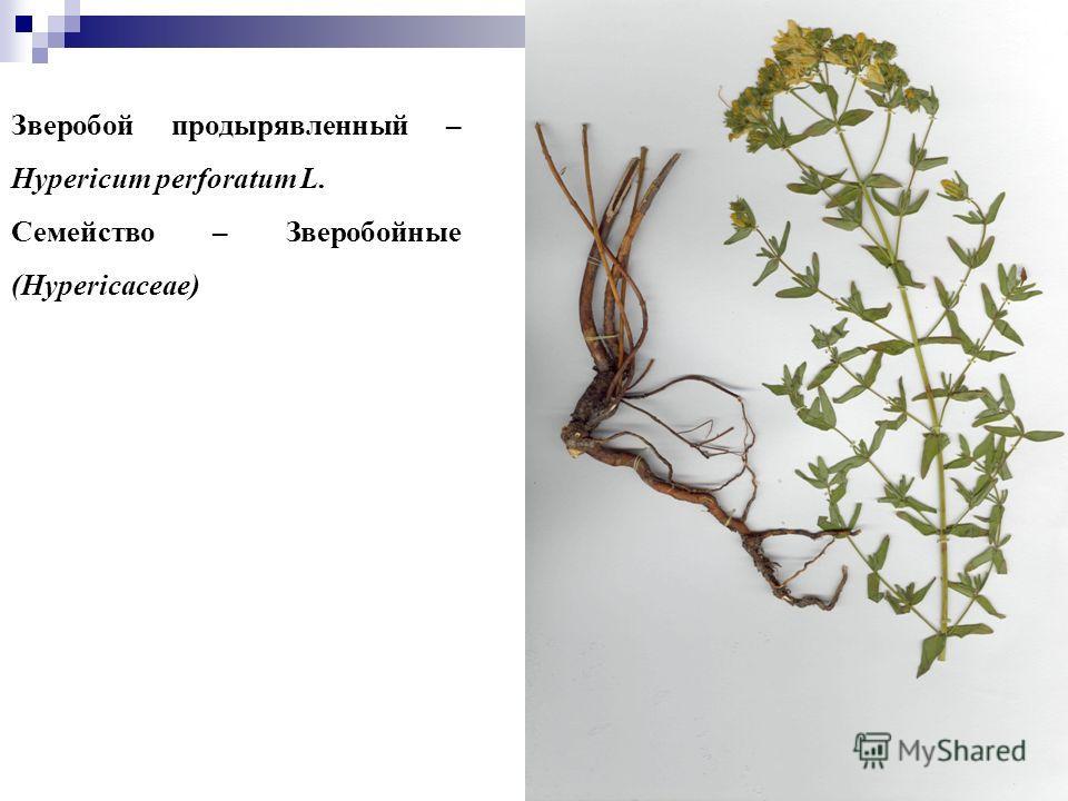 77 Зверобой продырявленный – Hypericum perforatum L. Семейство – Зверобойные (Hypericaceae)