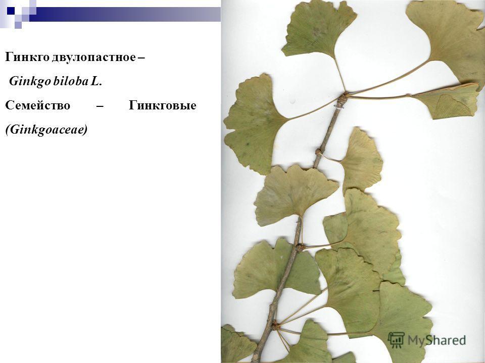 88 Гинкго двулопастное – Ginkgo biloba L. Семейство – Гинкговые (Ginkgoaceae)