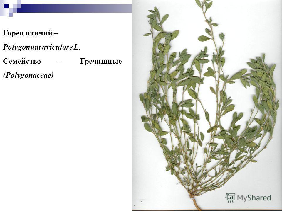 10 Горец птичий – Polygonum aviculare L. Семейство – Гречишные (Polygonaceae)