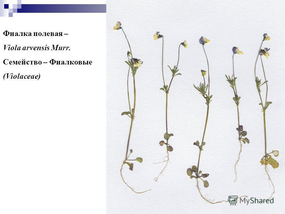33 Фиалка полевая – Viola arvensis Murr. Семейство – Фиалковые (Violaceae)