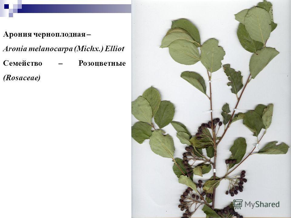 44 Арония черноплодная – Aronia melanocarpa (Michx.) Elliot Семейство – Розоцветные (Rosaceae)