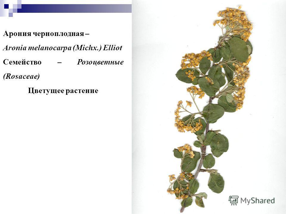 55 Арония черноплодная – Aronia melanocarpa (Michx.) Elliot Семейство – Розоцветные (Rosaceae) Цветущее растение