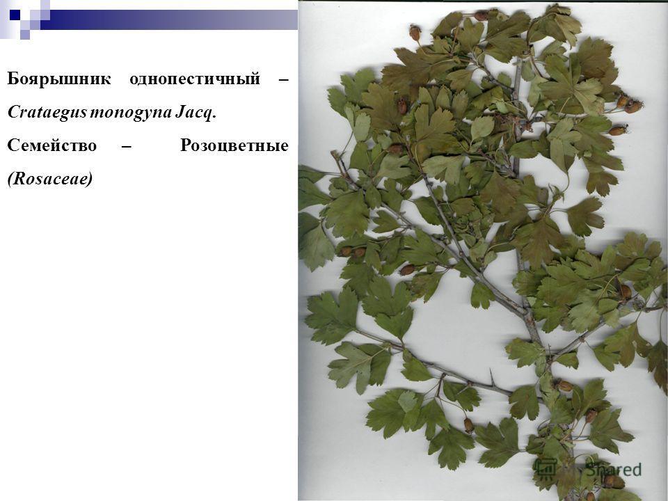66 Боярышник однопестичный – Crataegus monogyna Jacq. Семейство – Розоцветные (Rosaceae)