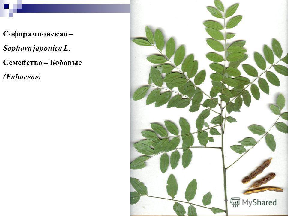 77 Софора японская – Sophora japonica L. Семейство – Бобовые (Fabaceae)