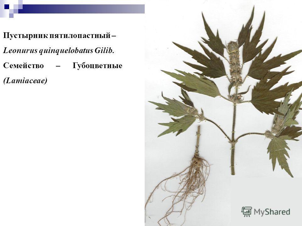 88 Пустырник пятилопастный – Leonurus quinquelobatus Gilib. Семейство – Губоцветные (Lamiaceae)