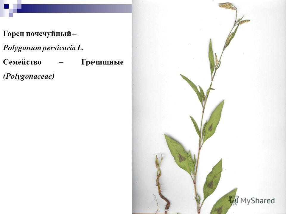 99 Горец почечуйный – Polygonum persicaria L. Семейство – Гречишные (Polygonaceae)