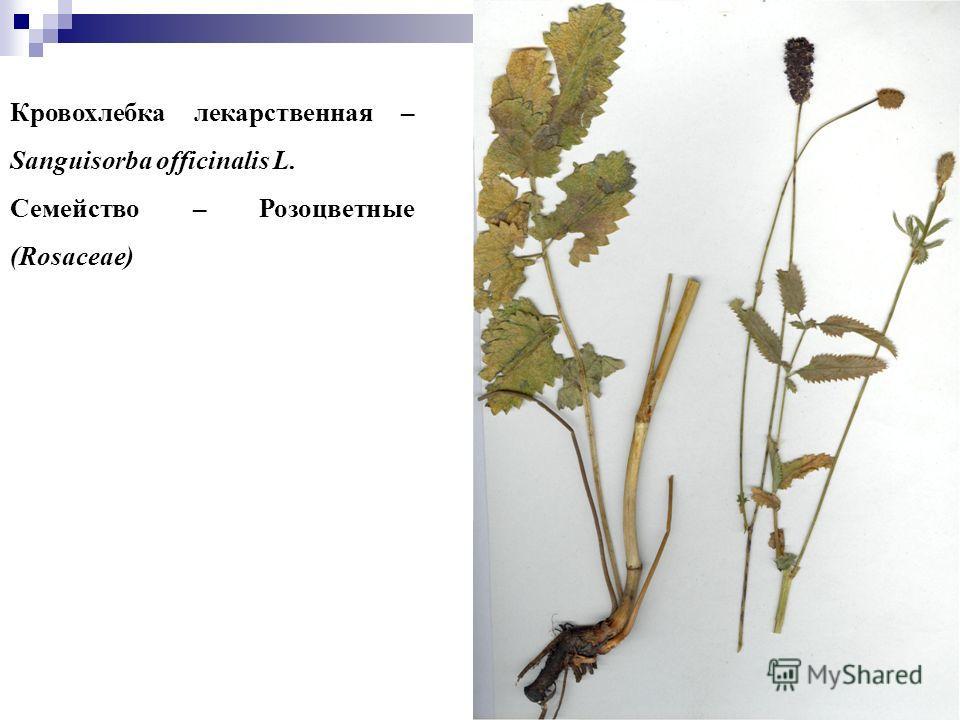 33 Кровохлебка лекарственная – Sanguisorba officinalis L. Семейство – Розоцветные (Rosaceae)
