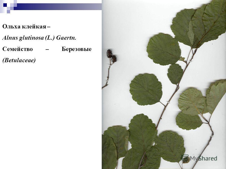 77 Ольха клейкая – Alnus glutinosa (L.) Gaertn. Семейство – Березовые (Betulaceae)