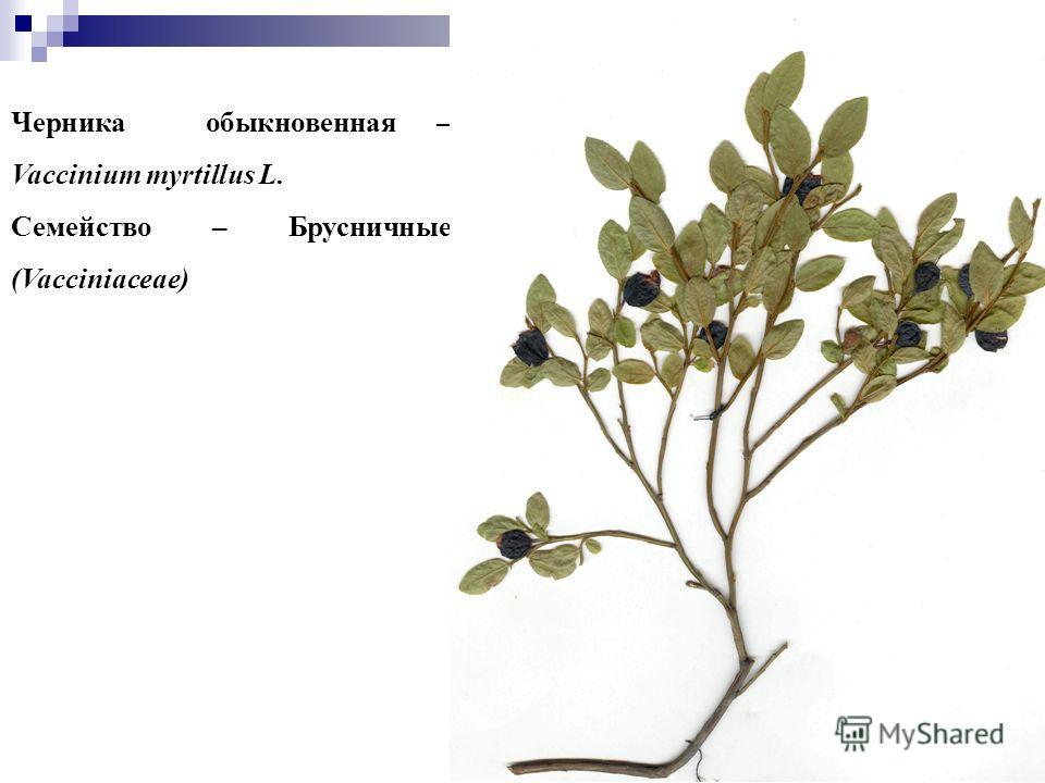 88 Черника обыкновенная – Vaccinium myrtillus L. Семейство – Брусничные (Vacciniaceae)