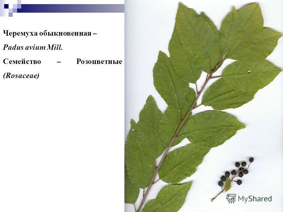 99 Черемуха обыкновенная – Padus avium Mill. Семейство – Розоцветные (Rosaceae)