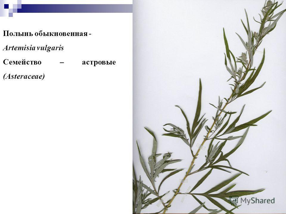 12 Полынь обыкновенная - Artemisia vulgaris Семейство – астровые (Asteraceae)