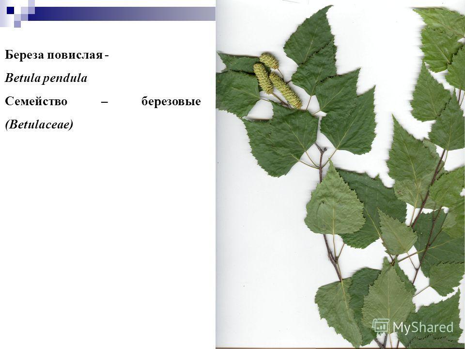 3 3 Береза повислая - Betula pendula Семейство – березовые (Betulaceae)