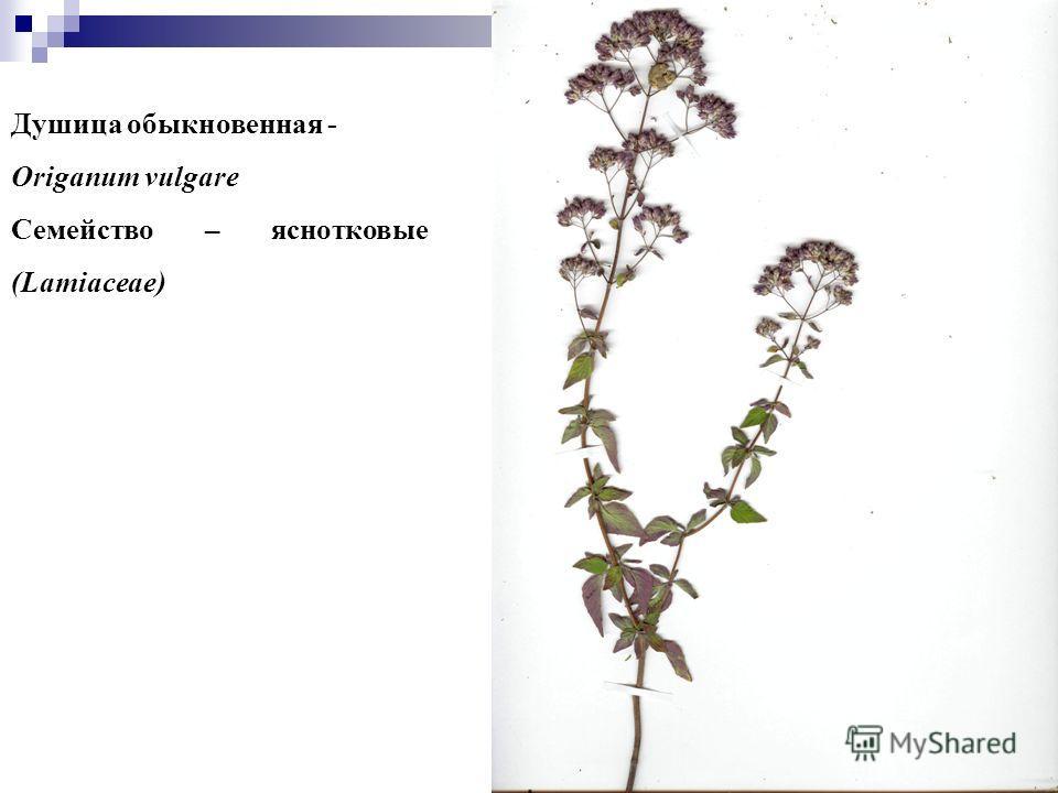 7 7 Душица обыкновенная - Origanum vulgare Семейство – яснотковые (Lamiaceae)
