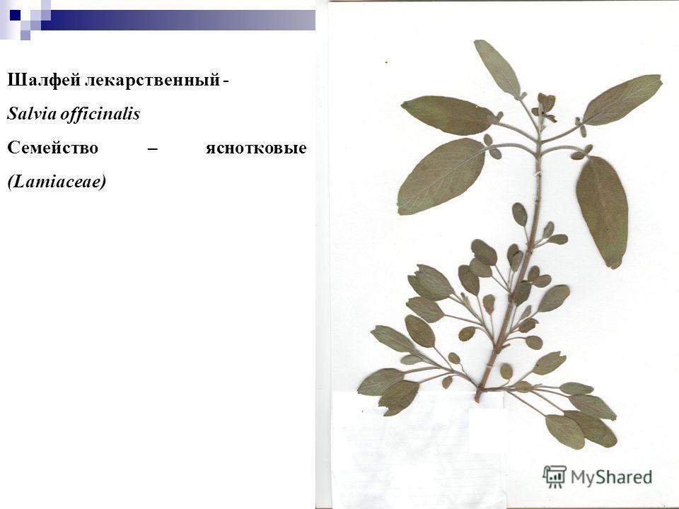 10 Шалфей лекарственный - Salvia officinalis Семейство – яснотковые (Lamiaceae)